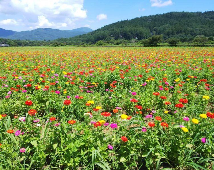 8月6日撮影 山梨県山中湖村にある 花の都公園へ出掛けて きましたspw 富士山と花が撮れると 有名な場所なのですが 残念な事に富士山は雲に 隠されてしまってましたが 夏らしい雲だったので コレはコレでありかな ᴗ でもアップな向日葵ばかりw Natural Landmarks