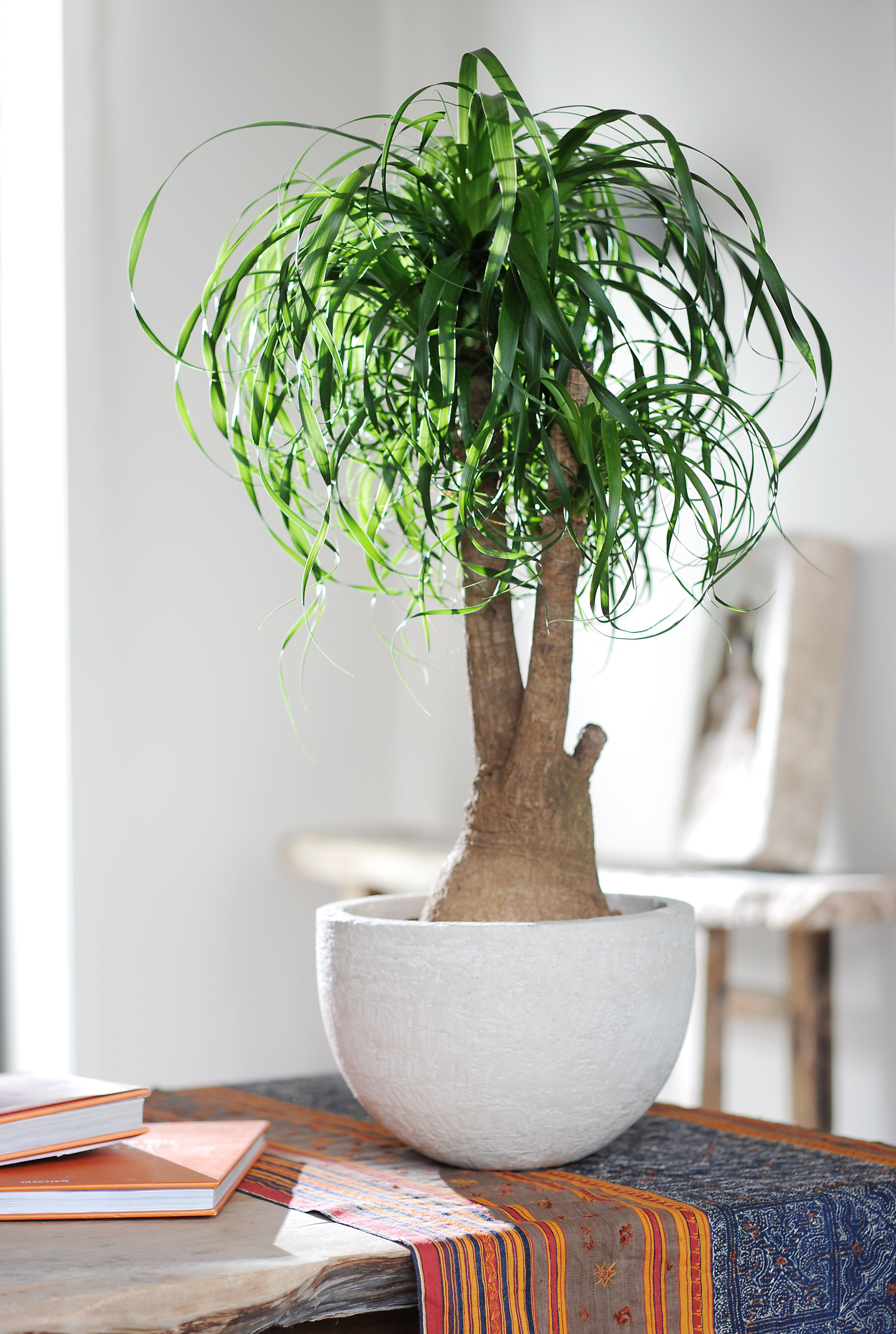 Zimmerpflanzen-Porträt Elefantenfuß, Beaucarnea   Plants ...