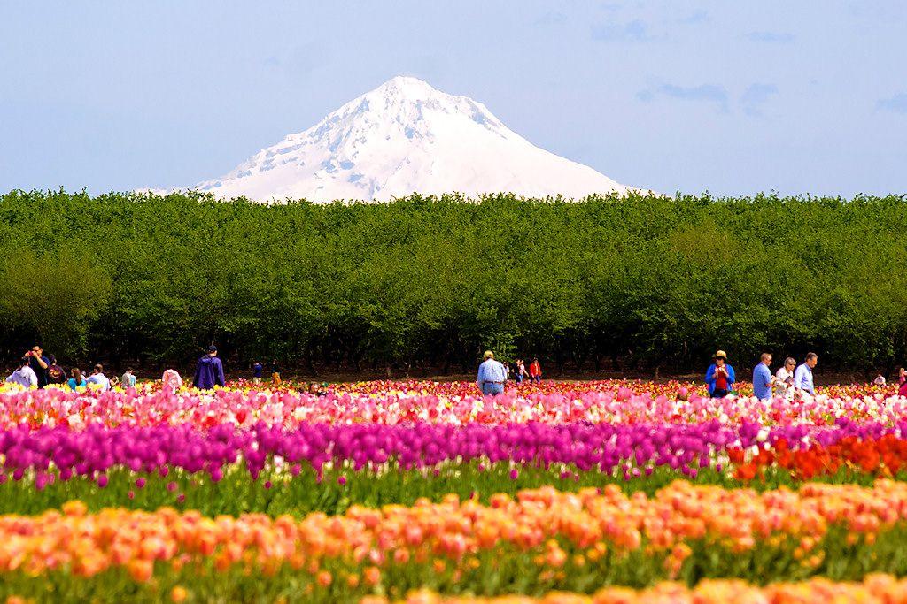 Tulip Festival Woodburn Oregon Tulips and