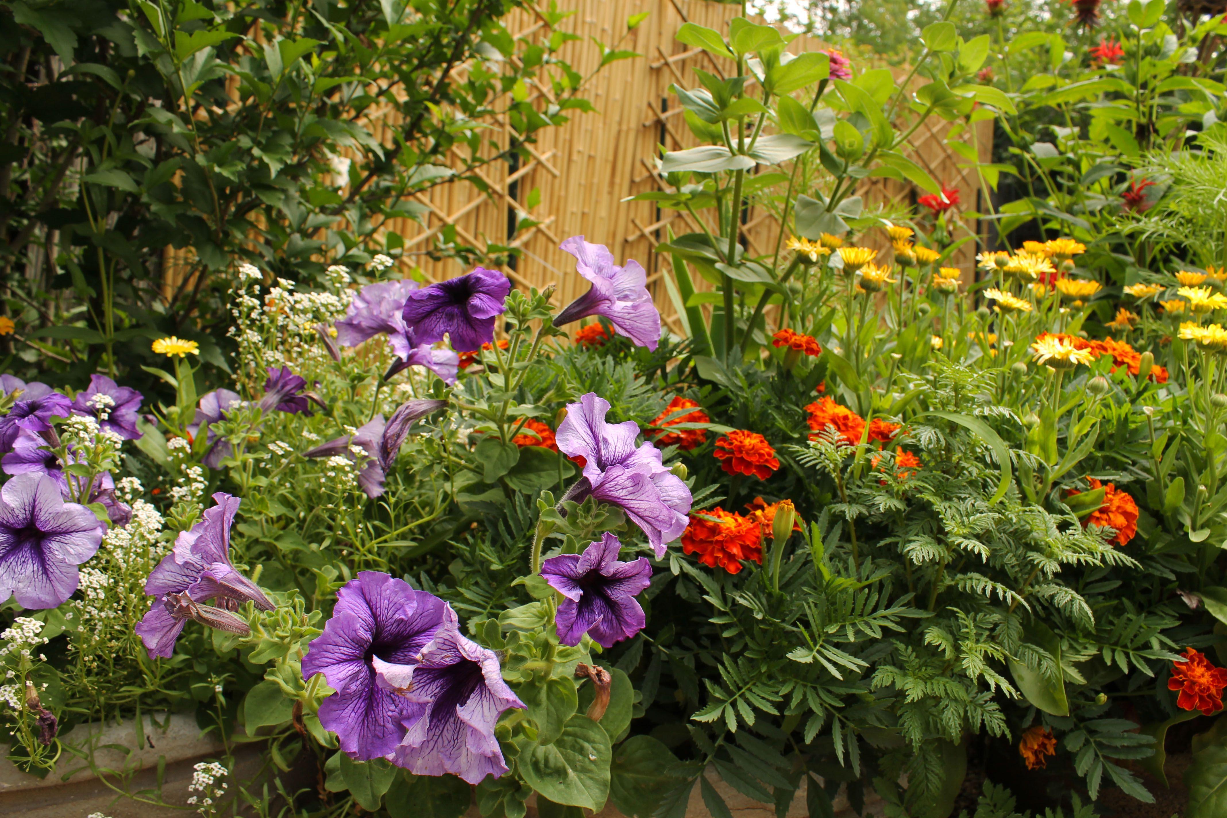Petunias for pest control | Palm Rae Urban Potager | DESERT PLANTS ...