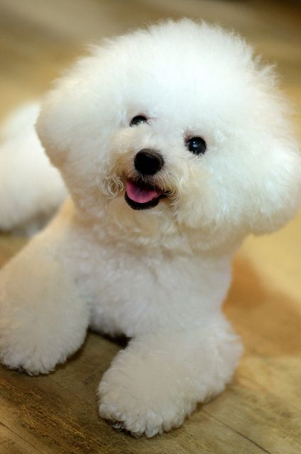 Cheerful lil' Bichon! ❤️