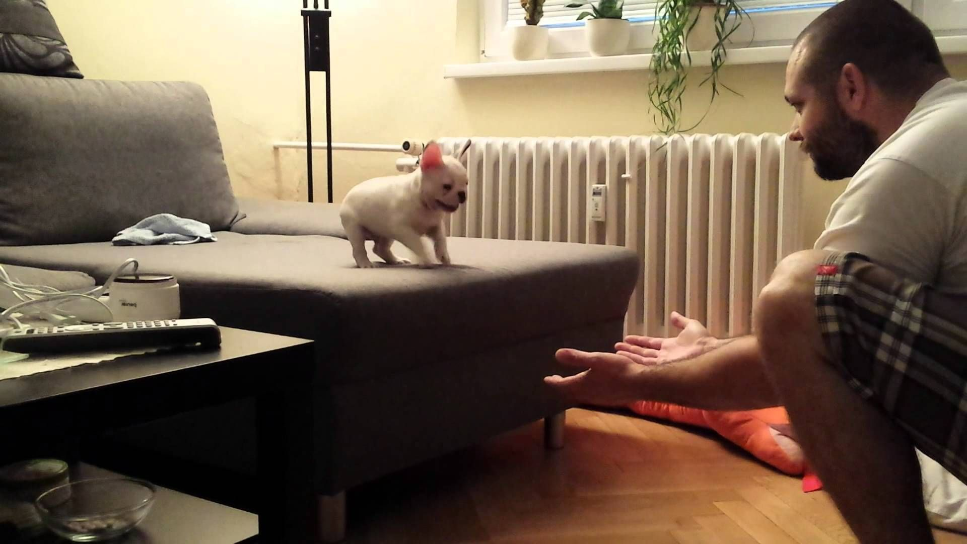 French Bulldog Puppy Fearlessly Jumps Off The Sofa And Into His