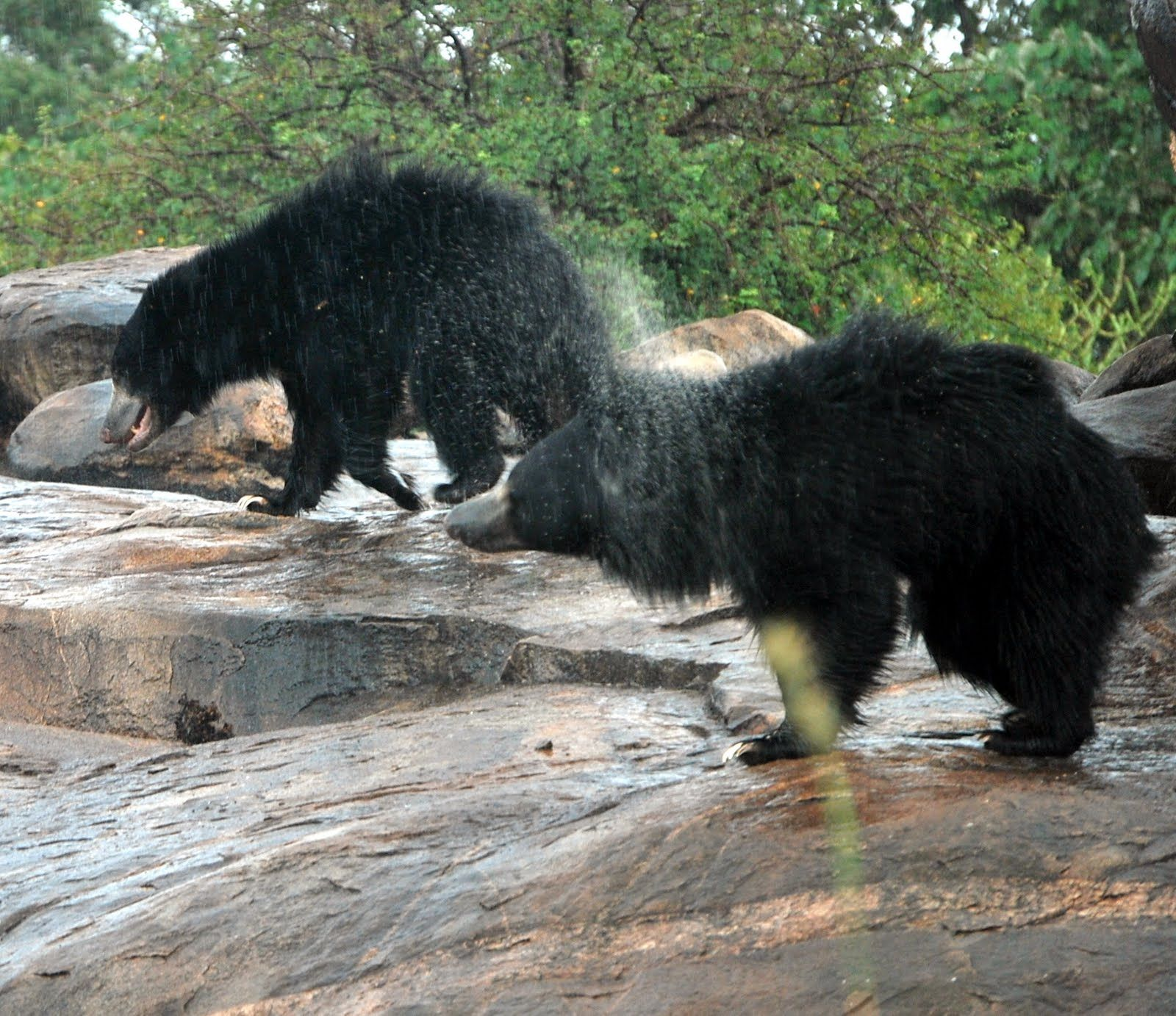 The sloth bear is a nocturnal insectivorous species of
