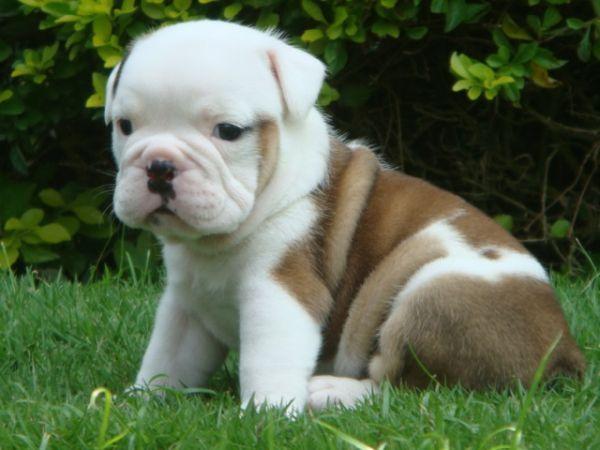 Baby English Bulldog English Bulldog Puppies Bulldog Puppies