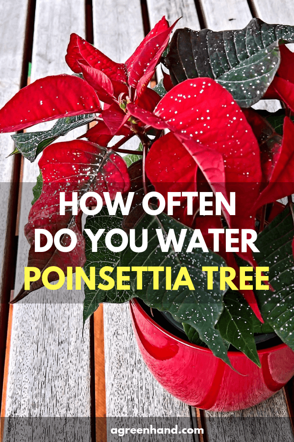 Watering Poinsettia Is Not Difficult But To Know How Often And How Much Water For A Small Or Big Poinsettia Tree I Poinsettia Plant Poinsettia Tree Poinsettia