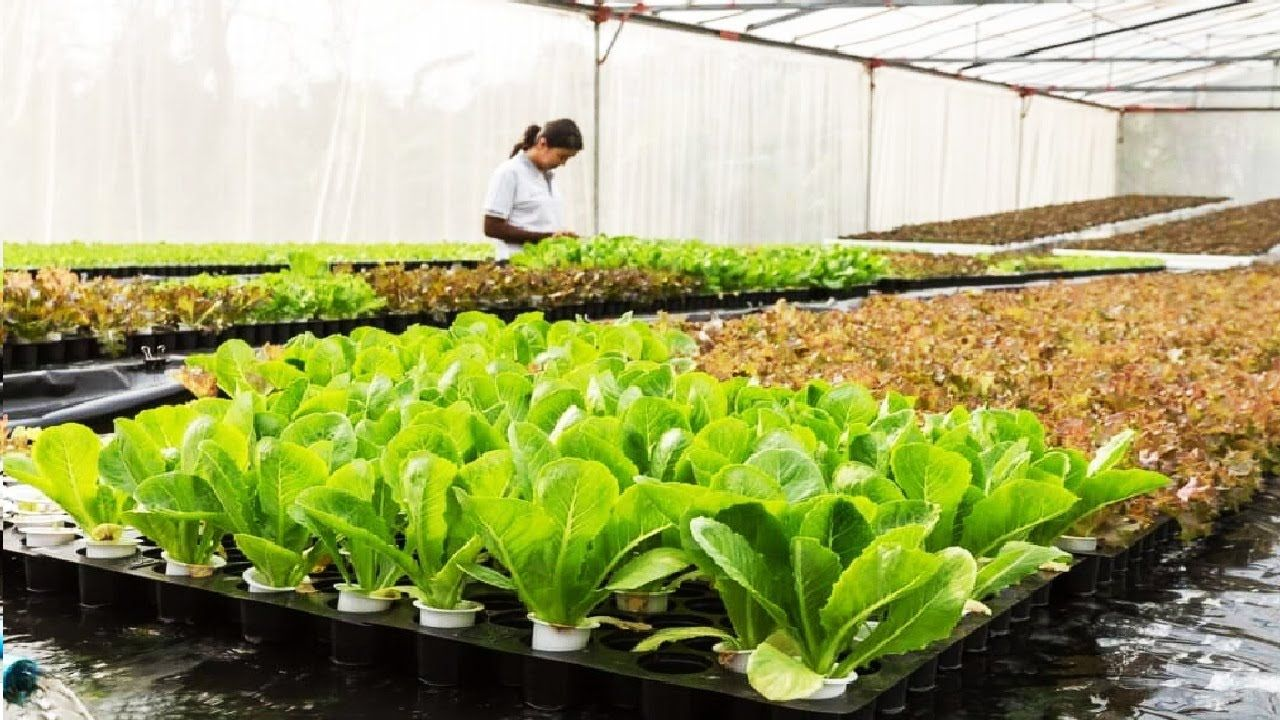 Flotando el cultivo hidropónico de hortalizas Cultivo