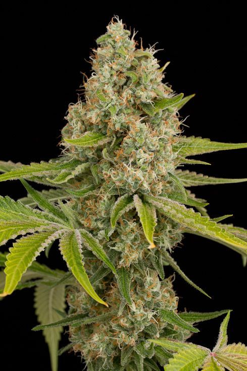 OG Kush Feminized Cannabis seeds Dinafem. #DinafemSeeds #Seeds #Cannabis #marijuana #Feminized #Feminised  OG Kush semillas feminizadas de Dinafem. #marihuana #semillas #Feminizadas