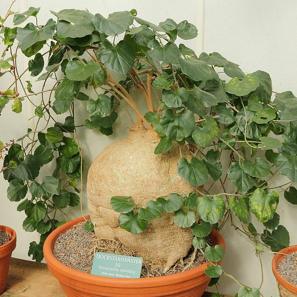 Pyrenacantha Malvifolia Care Sheet