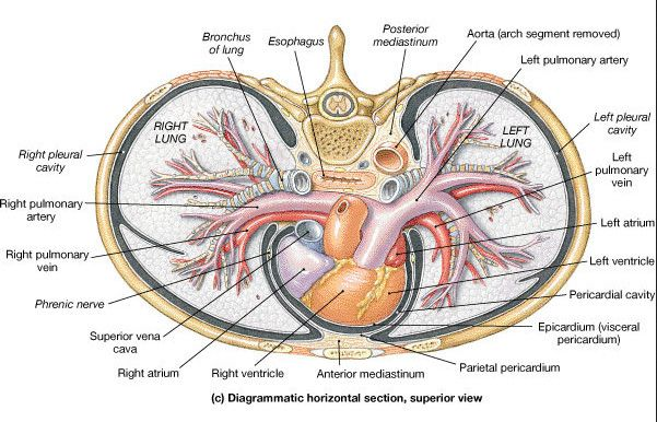 Where Is The Heart Located Boundaries And Surface Anatomy Vena