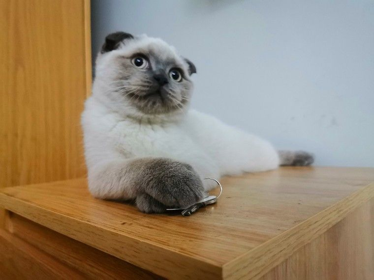 Scottish Fold Male For Sale Scottish Fold Kittens Scottish Fold Cats And Kittens