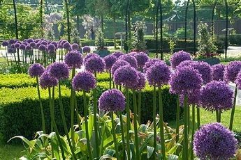 While Bolted Onions Are Beautiful They Aren T What Onion Farmers Like Us Want To See In The Field It Means There Will Be No Big Allium Flowers Bulb Flowers