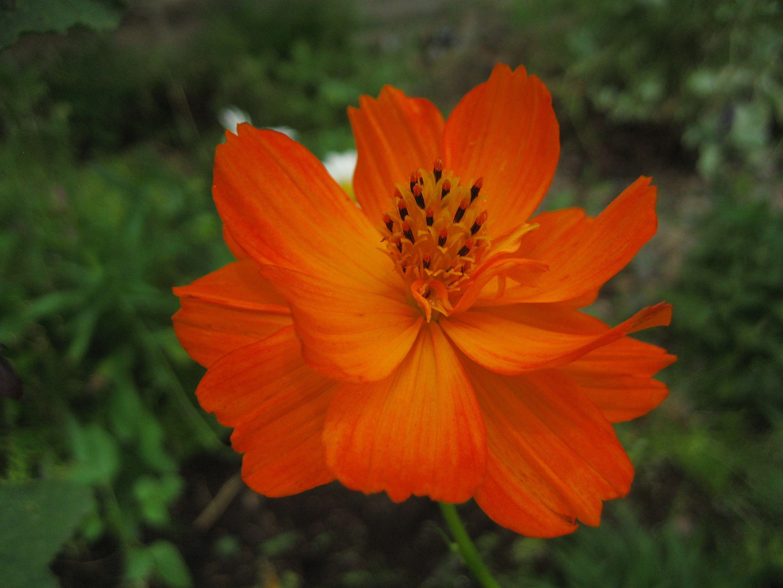 File Orange Cosmos Sulphureus Jpg Cosmos Flowers Showy Flowers Butterfly Plants