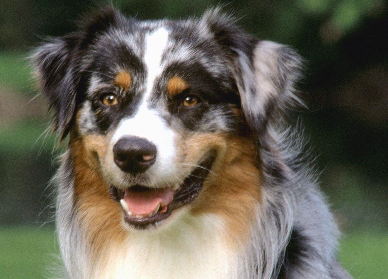 97 best australian shepherd dog images on pinterest | dog photos