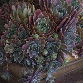 Krebs Desert Rose Hens and s | Gardening | Pinterest | Desert ... on