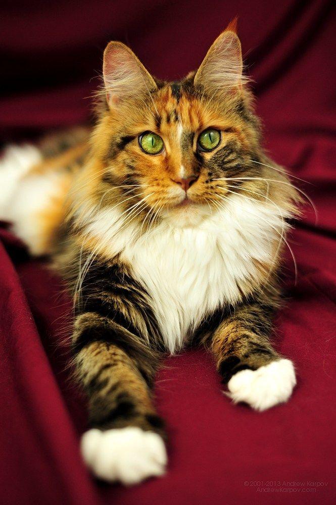 India, a female Maine Coon cat via ambientcat.com