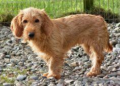 Basset Fauve De Bretagne 4 Pedigree Dog Griffon Dog Dogs