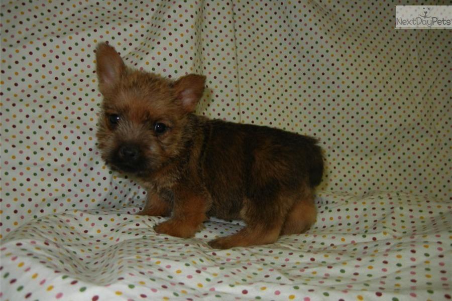 Norwich Terrier For Sale Norwich Terrier Puppy Norwich Terrier Terrier