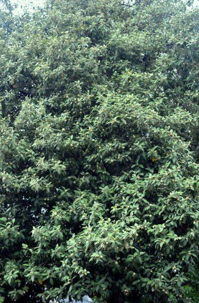 Norfolk Island Hibiscus Tree Lagunaria Patersonia Syn Fugosia