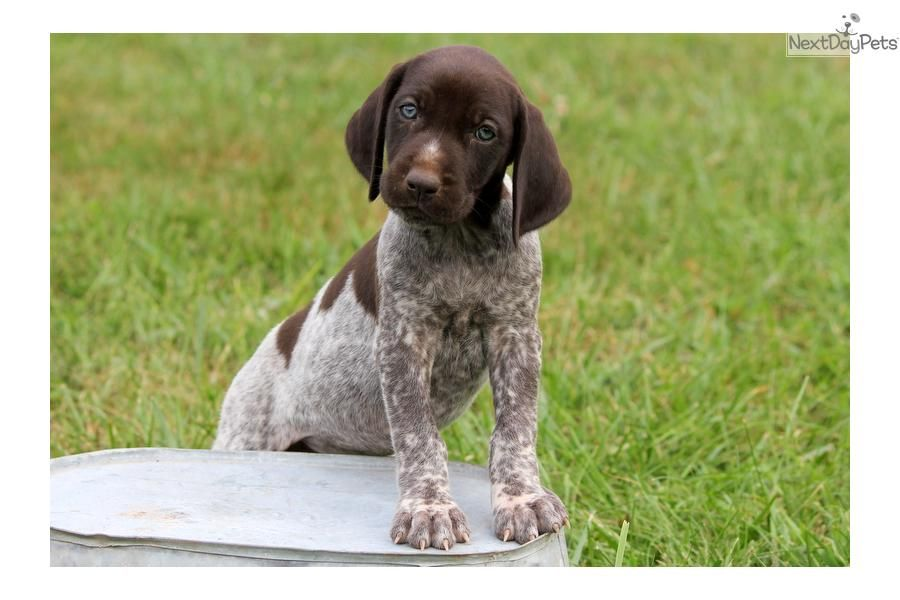 cheap german shorthaired pointer puppies for sale in pa