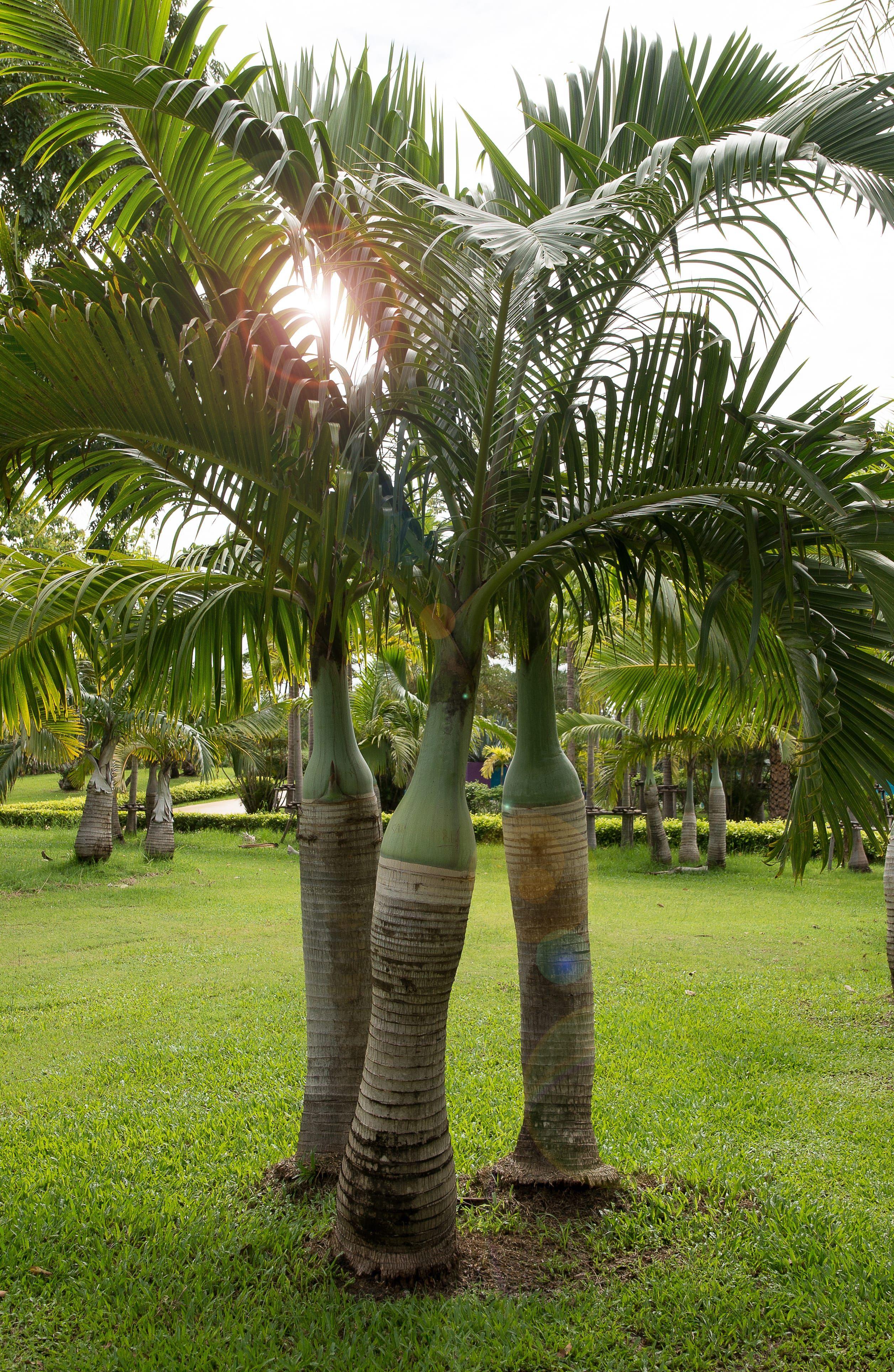 palmier 8 infos savoir pour l adopter dans son jardin. Black Bedroom Furniture Sets. Home Design Ideas