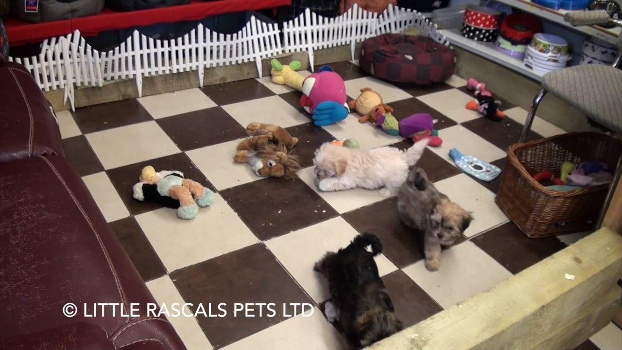 Little Rascals Uk Breeders New Litter Of Morkie Maltese X Yorkie