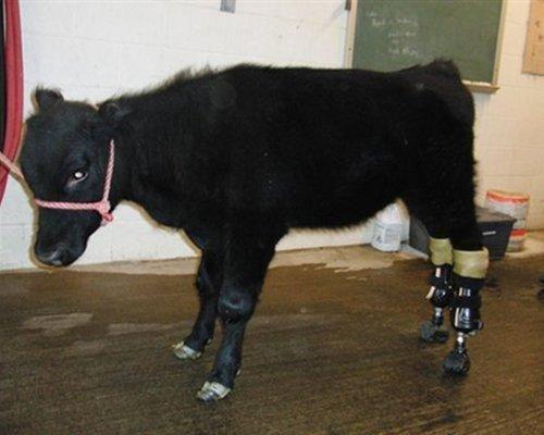 9 inspiring animals that use prosthetics