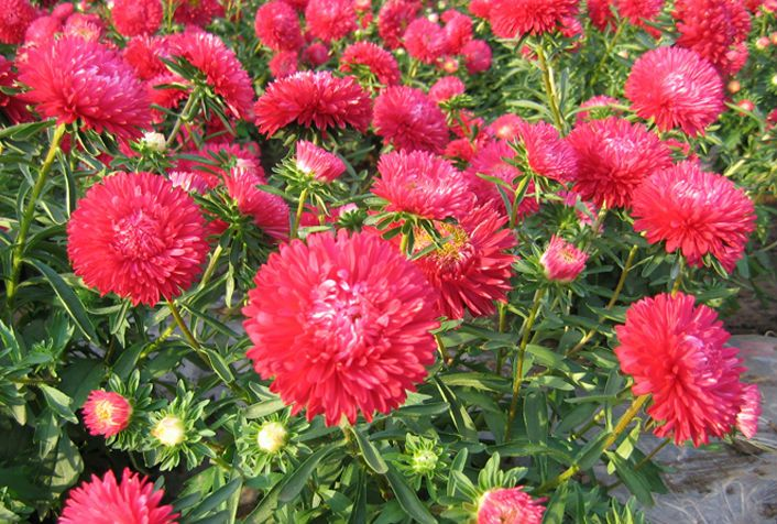 Heirloom Callistephus Chinensis China Aster Seeds Pink Matsumoto Flower Bulk Seeds For Growing View Callistephus Chinensis Fairy Valley Product Details From S Flower Seeds Flowers Seeds