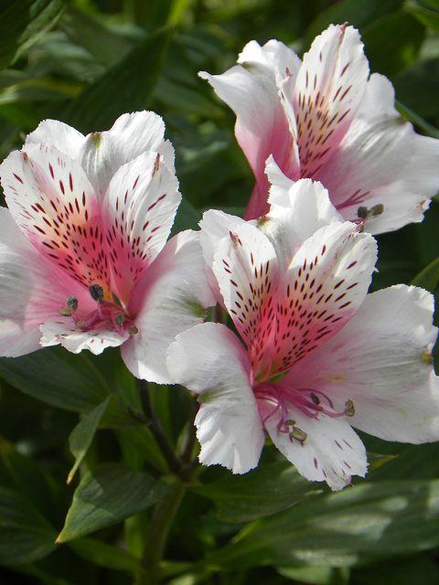 Peruvian Lily Beautiful Flowers Peruvian Lilies Flowers Nature