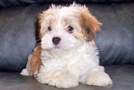 Havanese Georgia Find Rat Terrier Puppies For Sale And Dogs For Adoption From Reputable Havanese Puppies Havanese Puppies For Sale Puppies