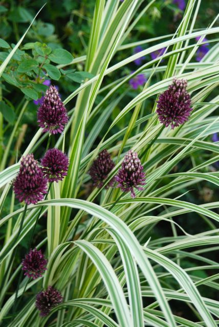 Guide To Common Names Of Ornamental Grasses Like Dwarf Silver Grass Miscanthus Sinensis Dixieland Ornamental Grasses Trees To Plant Plant Combinations