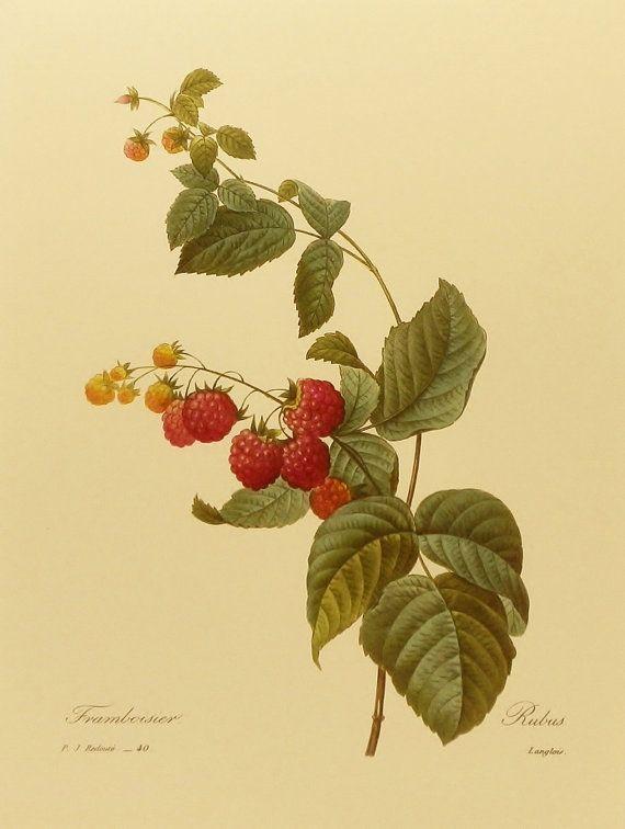 French Farmhouse Decor, Botanical Print (Wild Red Raspberry, Fruit ...