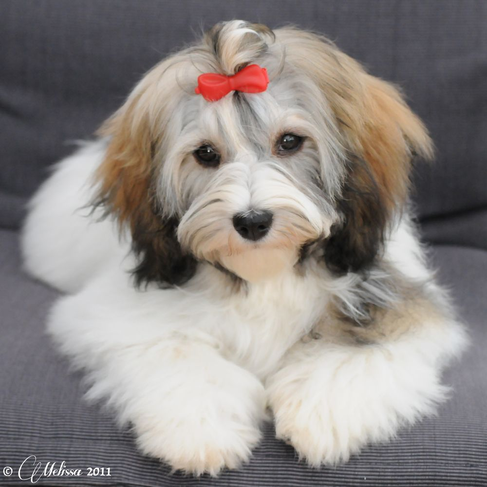 This my dear little Fia, a havanese, when she was 6 months old | I