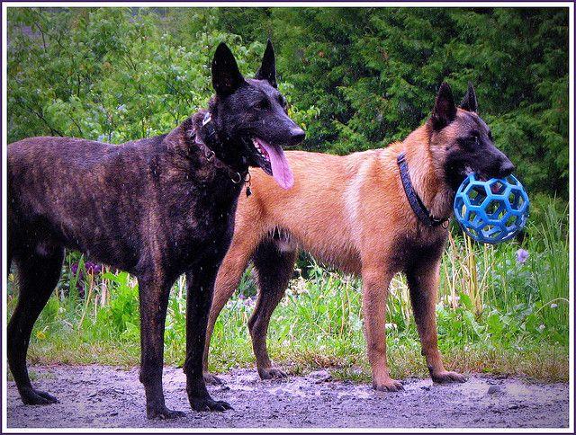 Dutch Shepherd And Belgian Malinois Belgian Malinois Dutch