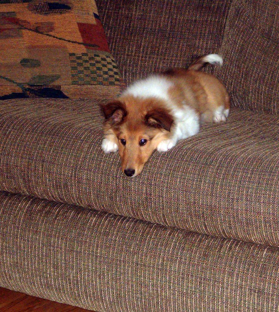 Resultado de imagen para shelties pinterest sofa