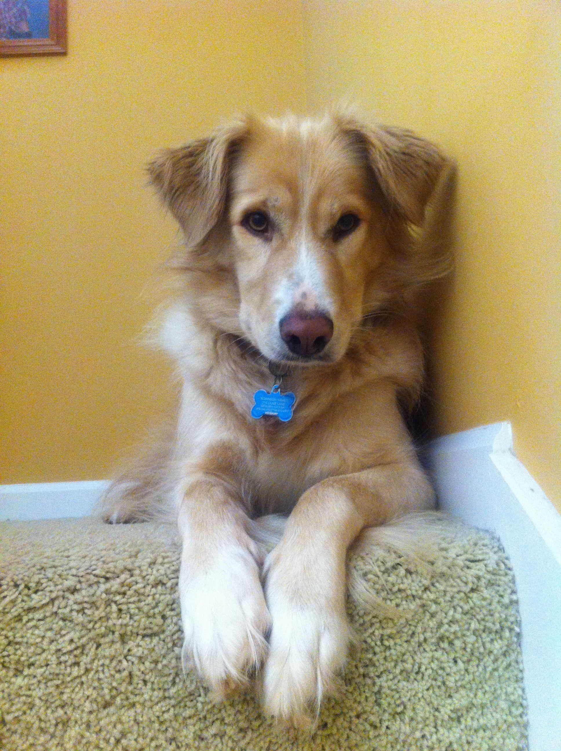 Golden Border Golden Retriever Border Collie Mix 3 Dogs Happy
