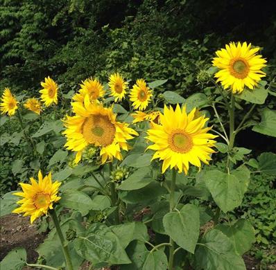 Sunflower Entry Number Twenty #sunflower #garden #gardening #flowers #inspiration #summer #happy #bright