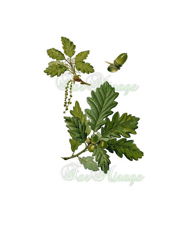 TREE BRANCH OAK Leaves With Acorns Acorn In Png Psd Vintage