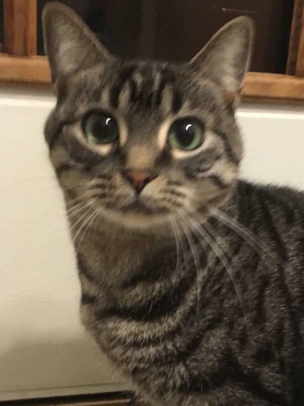 Lost Cat Unknown In Madison Ct Tabby Share Facebook Twitter