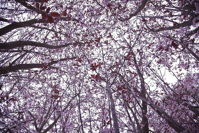 Cherry Blossoms Blossom Blossom Trees Cherry Tree