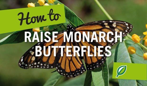 How To Raise Monarch Butterflies. It Is Relatively Easy To Raise Monarch  Butterflies At Home