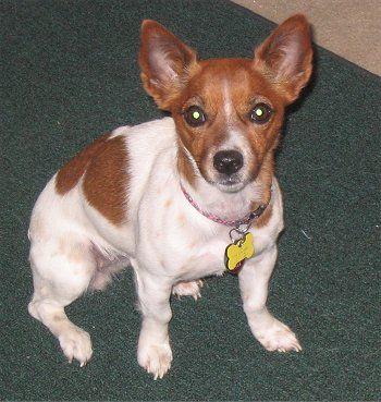 Jack Russell Rat Terrier Mix Pitbull Terrier Rat Terrier Mix Rat Terriers