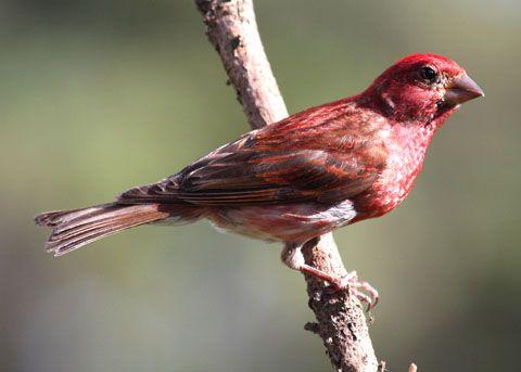 New Hampshire State Bird Purple Finch State Birds New Hampshire Bird