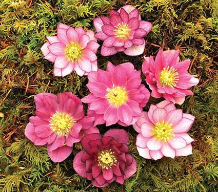 Helleborus x hybridus Winter Jewels® Berry Swirl