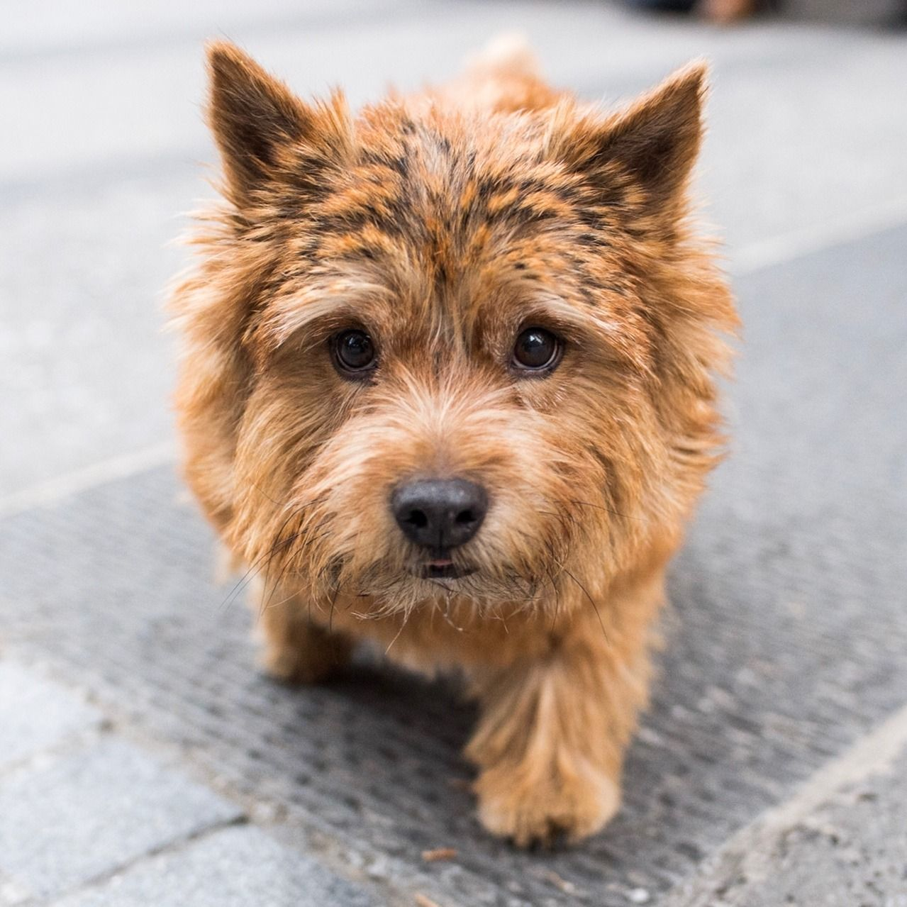 Teddy Norwich Terrier 7 Y O Astor Place New York Ny He S