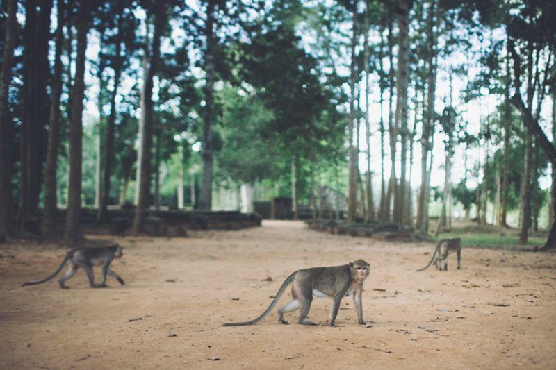 angkor thom monkeys, cambodia Angkor thom, Angkor, Cambodia