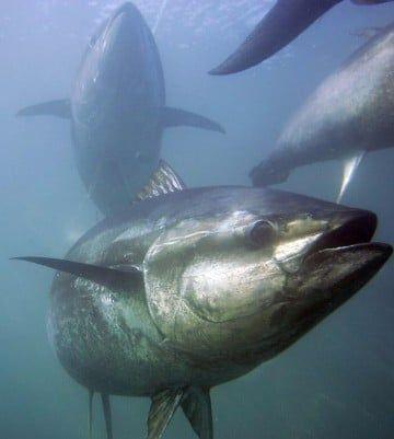 peces en peligro de extincion en el mar peruano