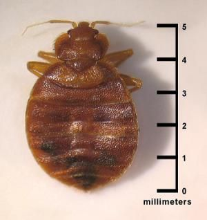 What You Should And Shouldn T Do When You Have Bed Bugs Bed