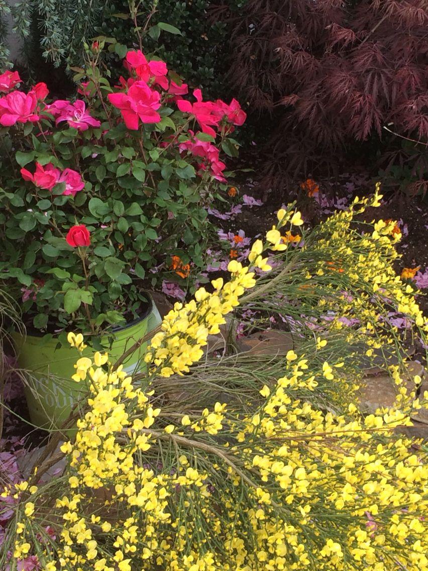 fragrant scotch broom knockout roses my yard knockout roses rh pinterest com
