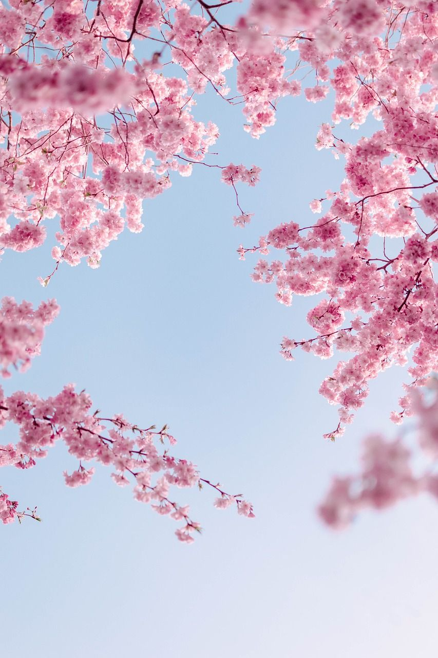Free Image on Pixabay - Cherry Blossoms, Flowers, Spring