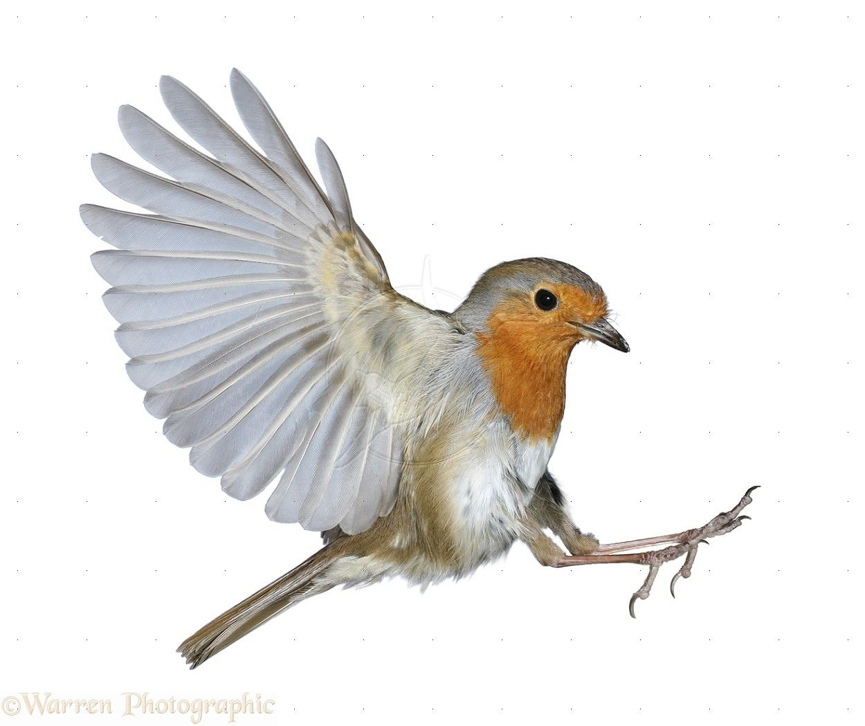 american robin bird flying - photo #16